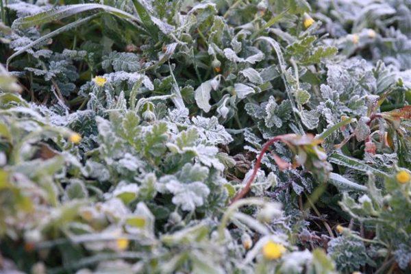 revivir plantas heladas