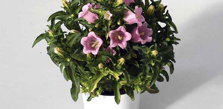 campanula-plantas-de-cuidado-facil-para-exterior