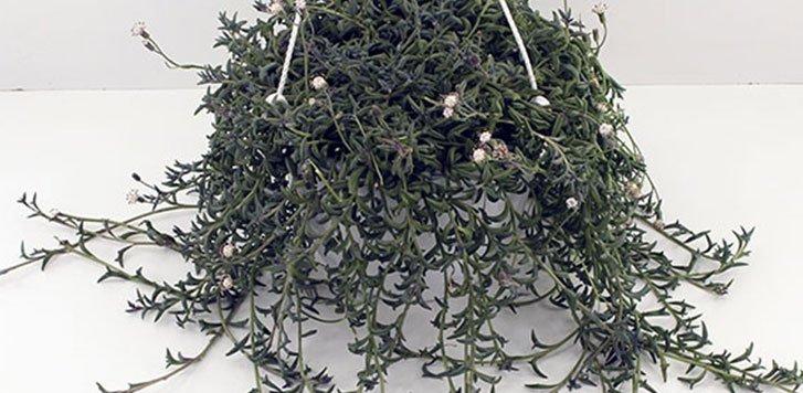 planta-del-delfin-plantas-bonitas-de-exterior-y-facil-de-cuidar
